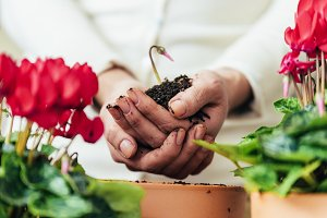 Woman's hands transplanting plant.