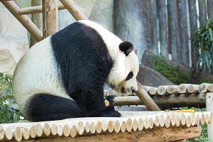 Image of a panda.