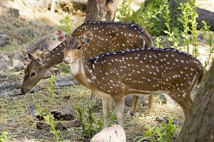 Image of a chital or spotted deer.