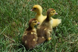 Ducklings of a musky duck
