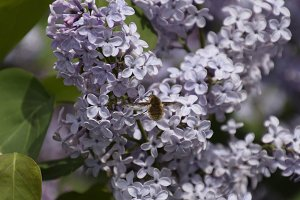 Bombyliidae on lilac. Shaggy fly on lilac colors. insect pollinator