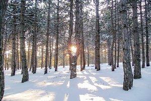 Sunshine through bent pine tree