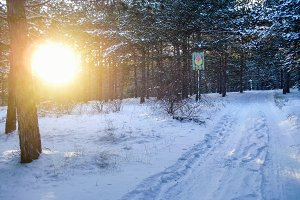 Sunshine in winter pine forest