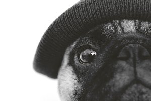 Black and white pug dog in hat