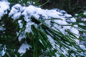 Pine branch close up covered by snow