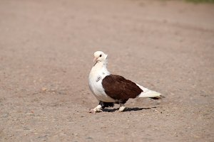 Purebred white-brown pigeon