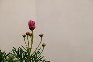 pink daisy blossom