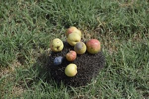 Hedgehog on a green grass. Hedgehog needles pinned on apples, peaches and plums. Hedgehog curled up into a ball
