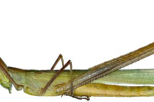 Snouted Grasshopper