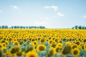 Large Field of Vibrant Sunflowers