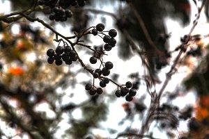 black mountain ash on a branch