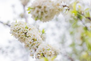 White flowers of a fruit tree.
