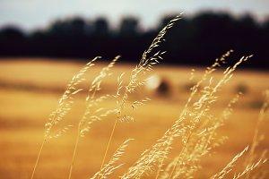 Golden spikelets against wheat-field