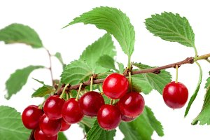 felted cherry branch isolated on white background