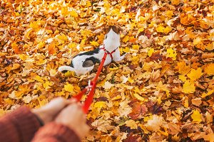 Close up on little dog on lead enjoying fall leaves in park