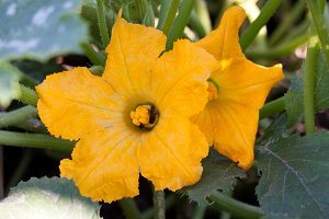 two courgette flowers in the vegetable garden