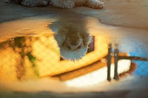 Reflection of poodle