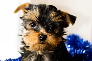 Yorkshire Terrier puppy. Christmas