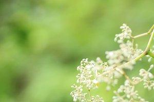 Tiny White Flowers 1