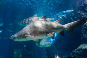 shark in big aquarium