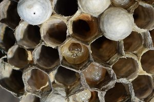 The larvae in honeycombs hornet's nest.