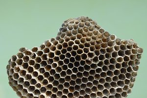 Wasp honey comb