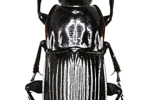Parallel-sided Ground Beetle