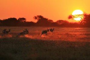Springbok - Sun Runners