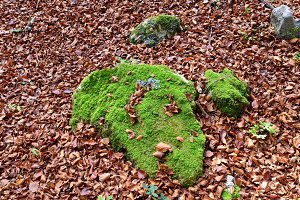 Rock Moss in Autumn Leaves
