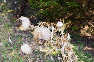 Dried Wooly Thistle Flower in Autumn