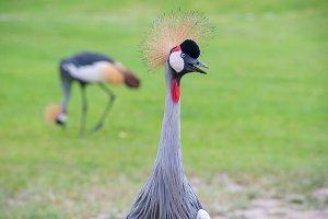 Crowned Crane birds