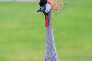 Crowned Crane birds
