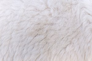 woolly sheep fleece for background