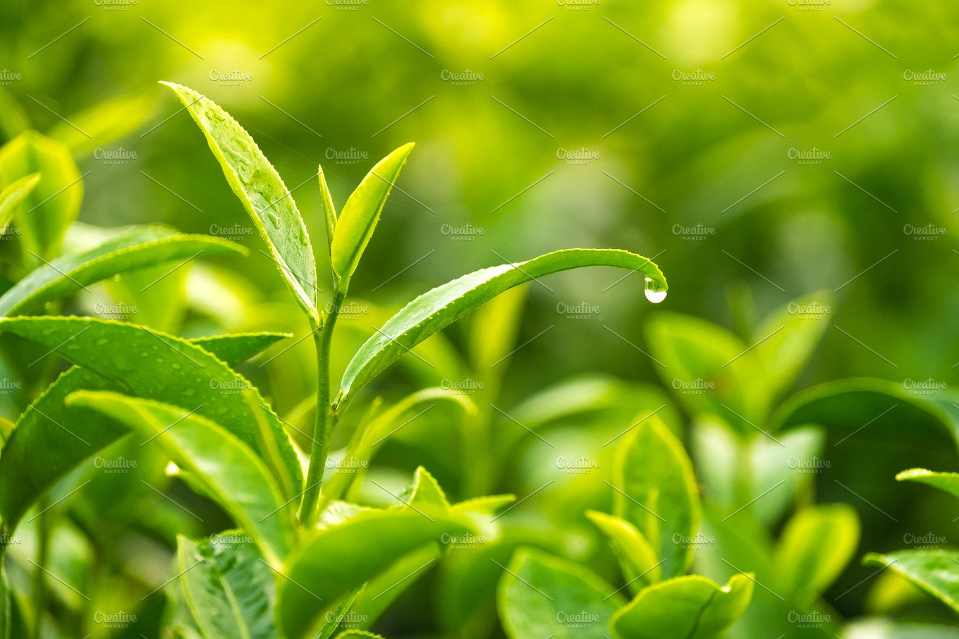 Green tea leaves with water drops ~ Nature Photos ...