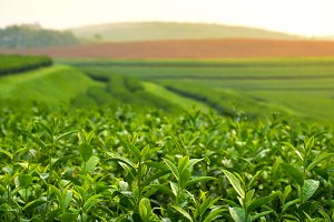 Green tea field