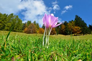 Autumn Crocus Flower
