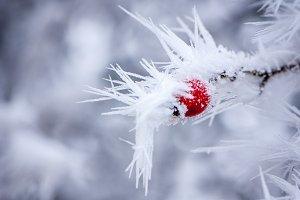 Frozen wild brier