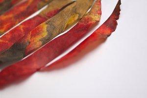 leaf stripes
