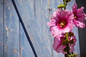 Pink hollyhock flower against wall