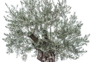 Olive tree. Isolated object.