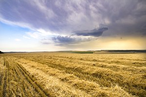 Golden wheat field with blue storm sky in background