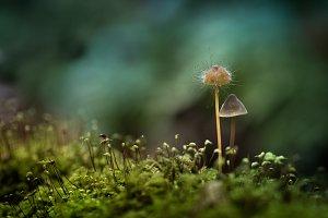 Mushroomed mushroom