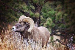 Rocky Big Horn Ram