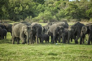 A herd of elephants with young