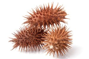 dry Xanthium strumarium isolated on white background has medicinal properties