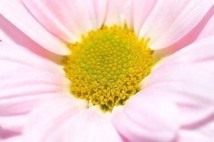 Closeup of pink daisy