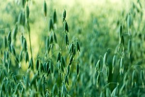 Green oat ears of wheat
