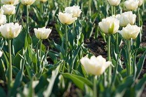 many beautiful white tulips