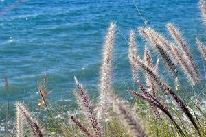 Feathery reeds by the sea
