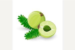 Amla Fruit Vector Illustration